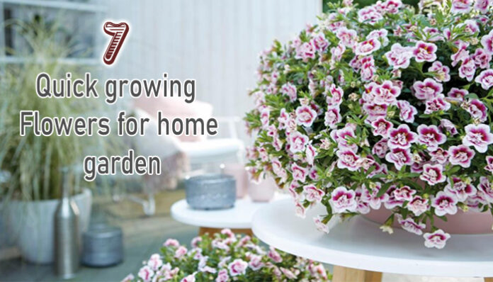 Top 7 Quick growing flowers for home garden